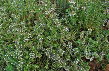 640px-Thymus_vulgaris_001.JPG