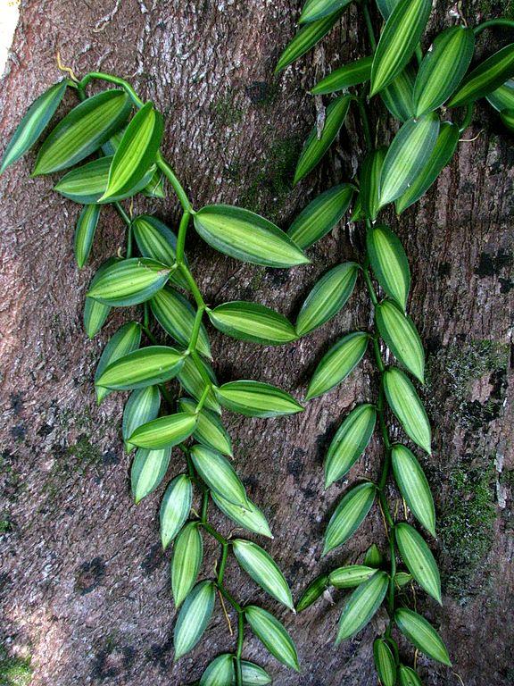 576px-Vanilla_planifolia_variegata_(5288801445).jpg