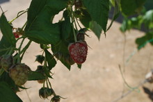 Discoloured fruit of my raspberries