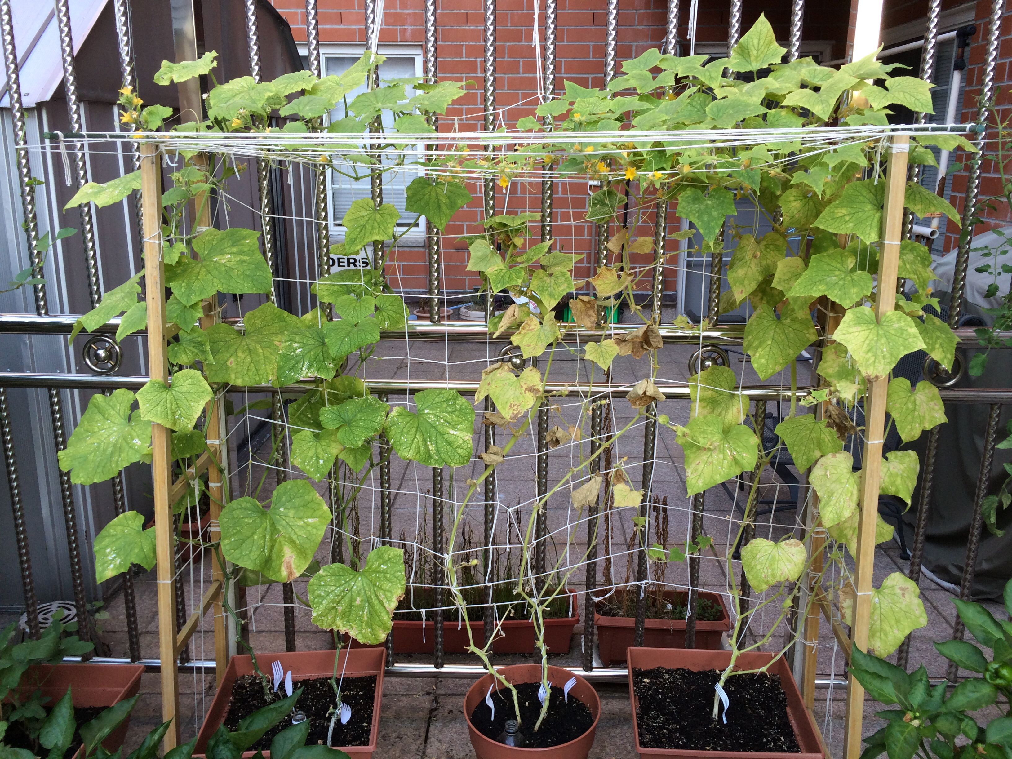 My potted (lemon) cucumber plants.