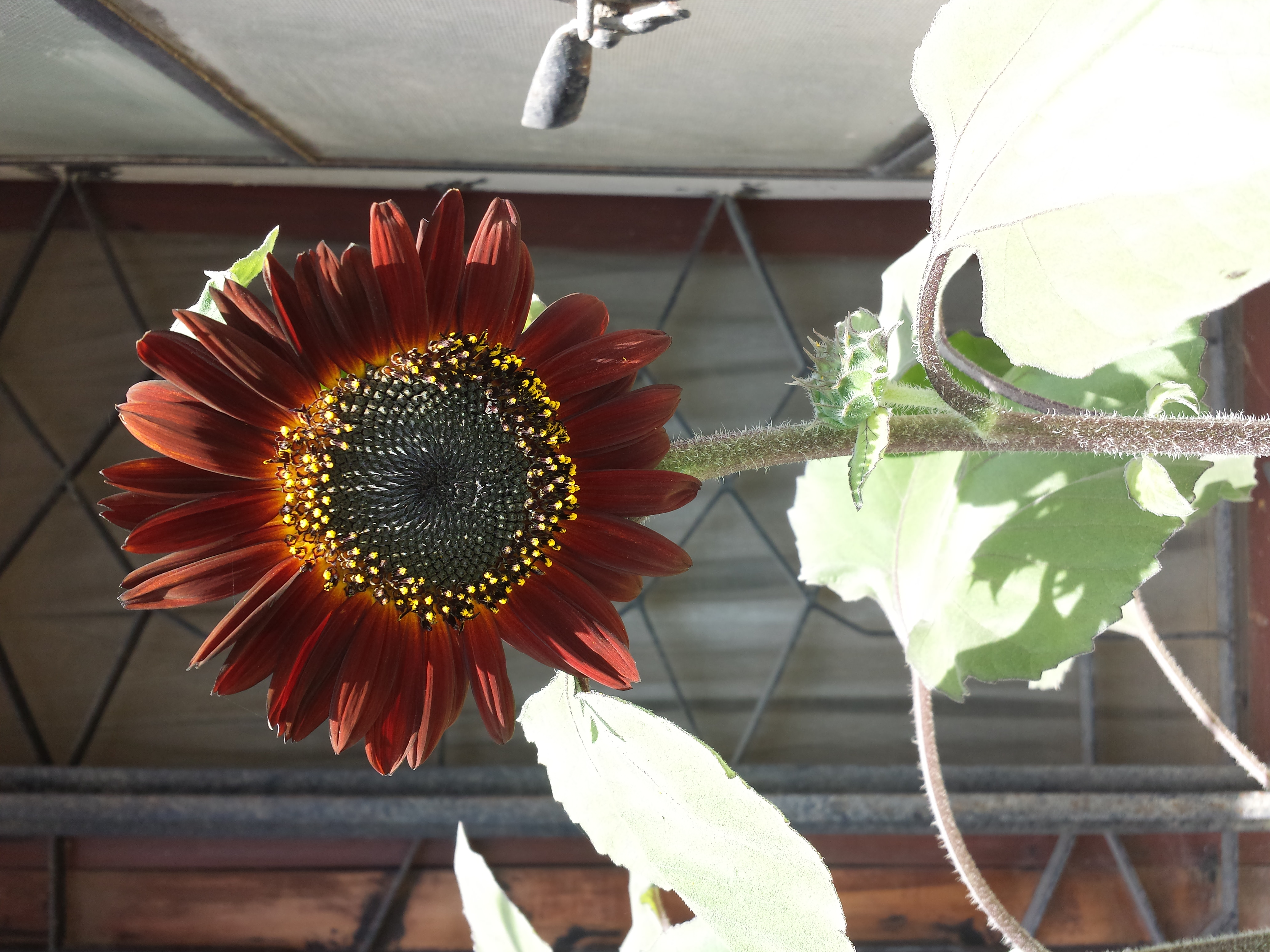 Update 13-9-15: It bloomed out just fine! Look at that beauty.