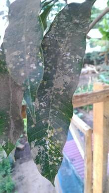 White spots on mango tree leaves.