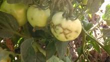 Diseased fruit