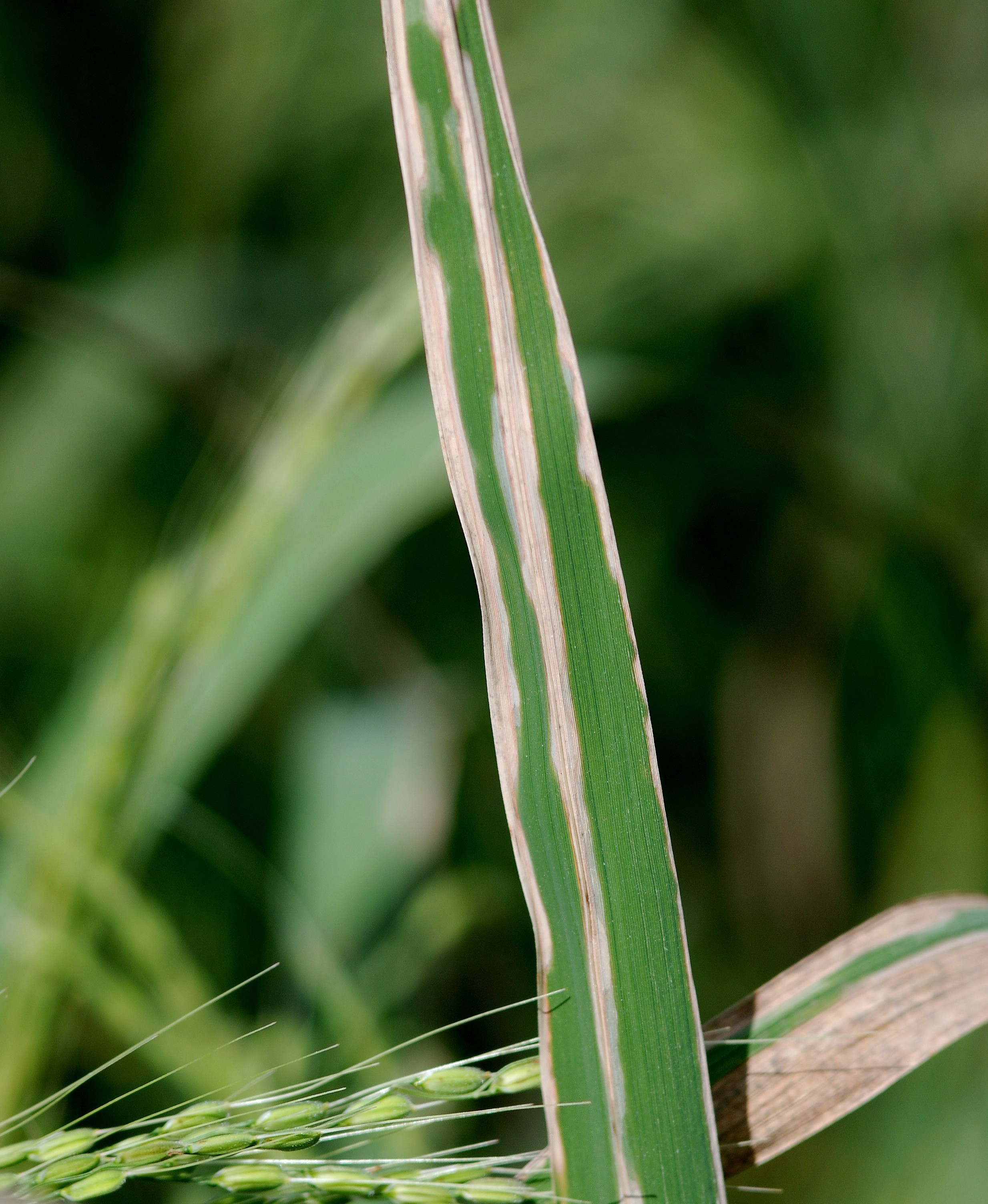 Rice Bacterial blight