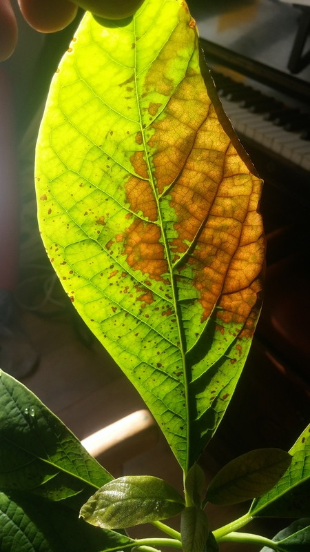 Well-liked Avocado | Brown spots and curling leaves on Avocado RW18