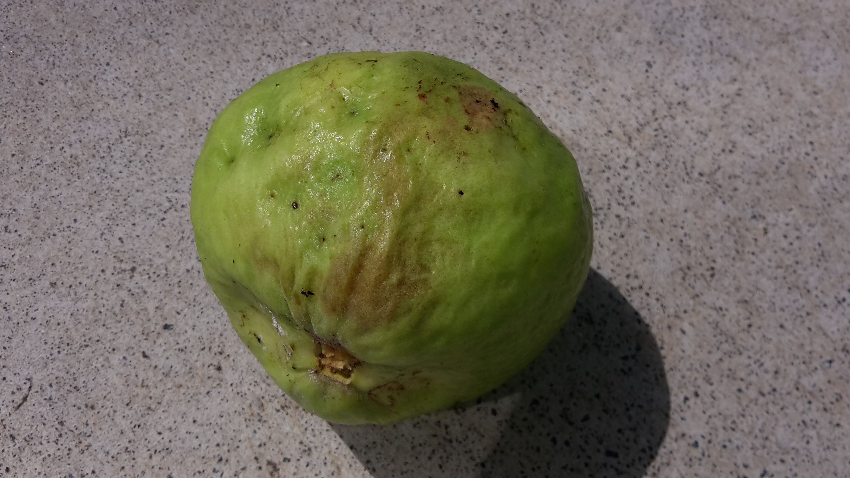rotten guava fruit which has got mushy patch
