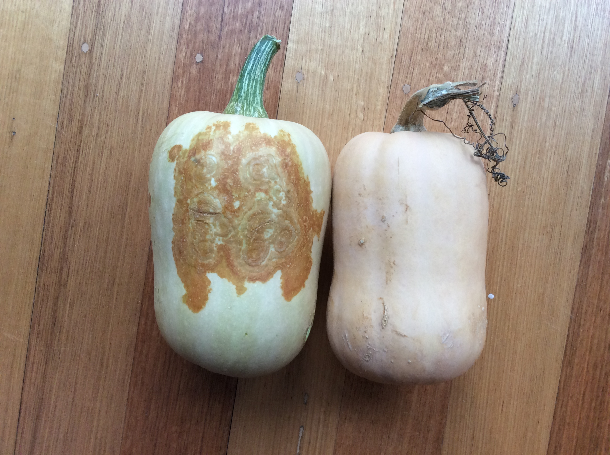 A mottled pumpkin next to a normal pumpkin