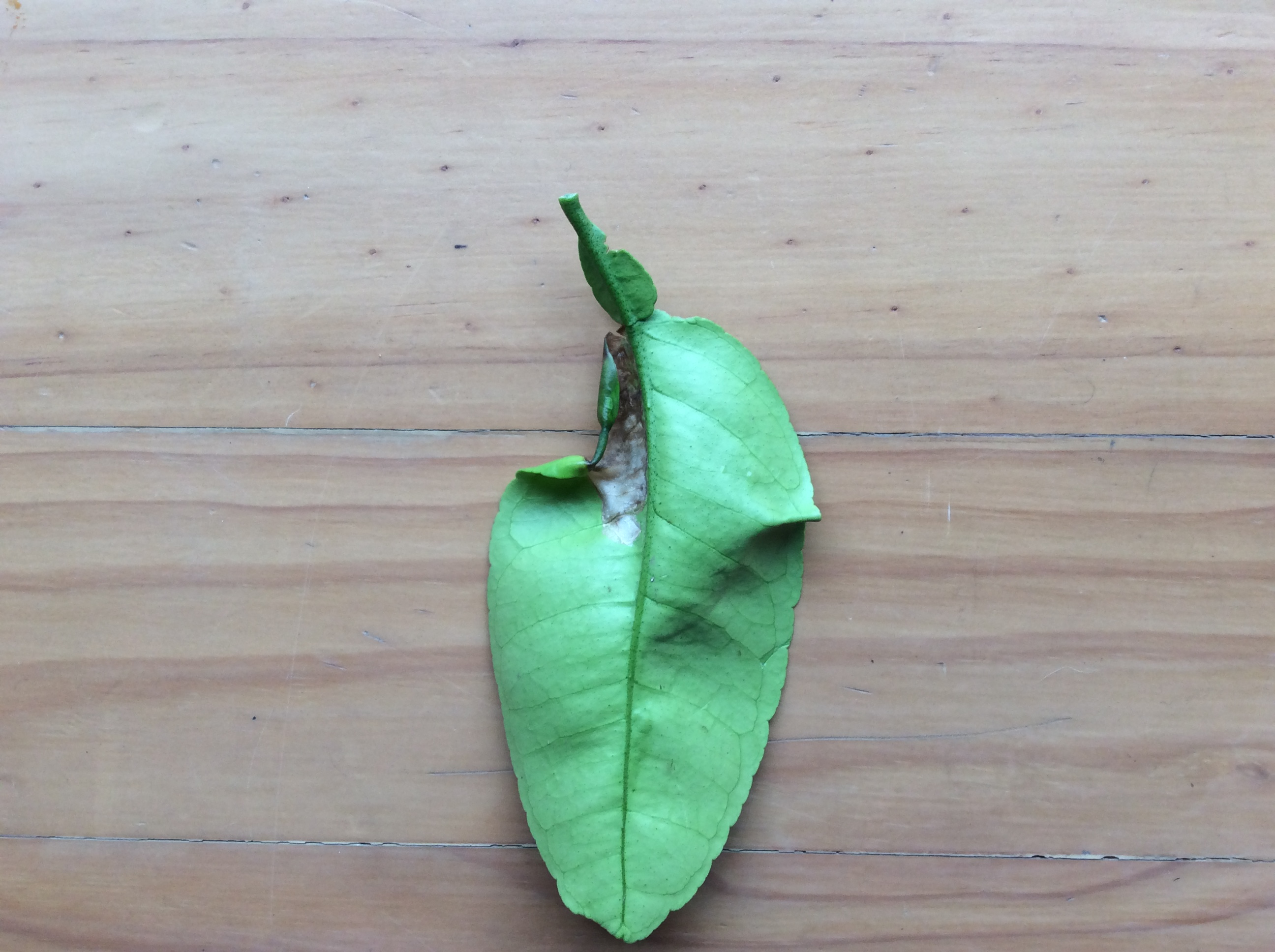 This is the same leaf from the back.