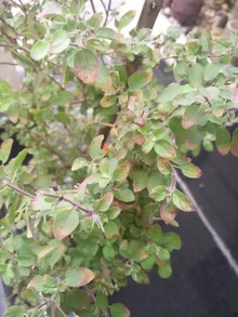 terminal yellowing / violet color in almost all the leaves . It looks like anthocynin pigments...
