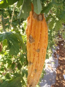 Bittergourd showing spots on outer side making fruit mature early and ultimately rottening of fruit.