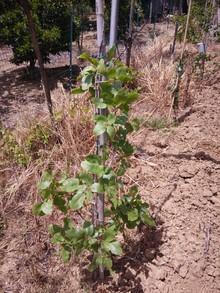 My pistachio's plant now!