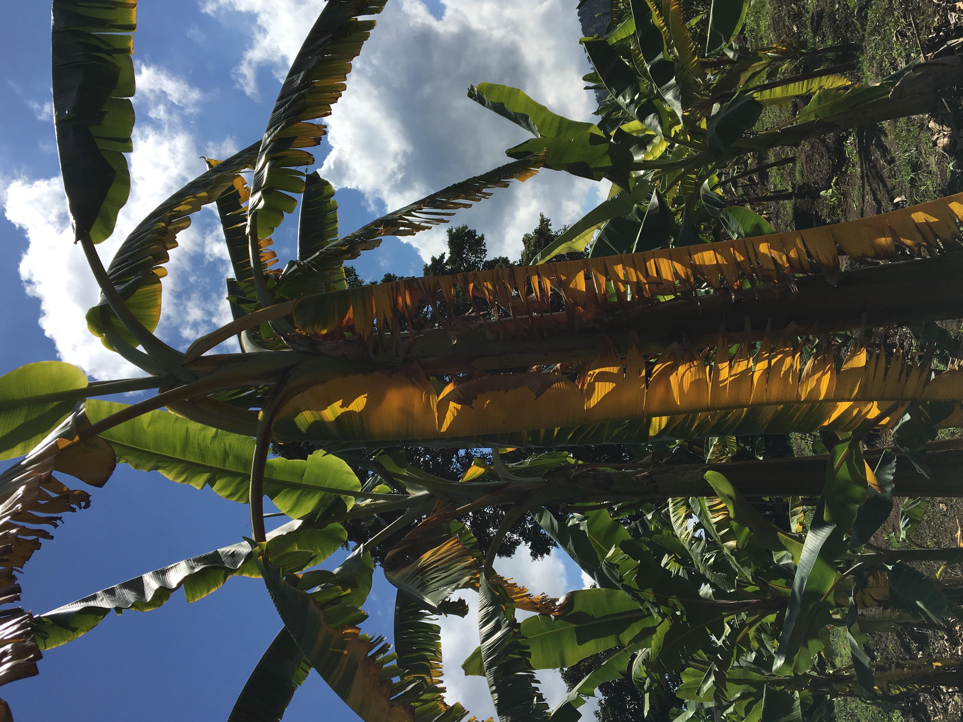 Banana | Diseases and Pests, Description, Uses, Propagation