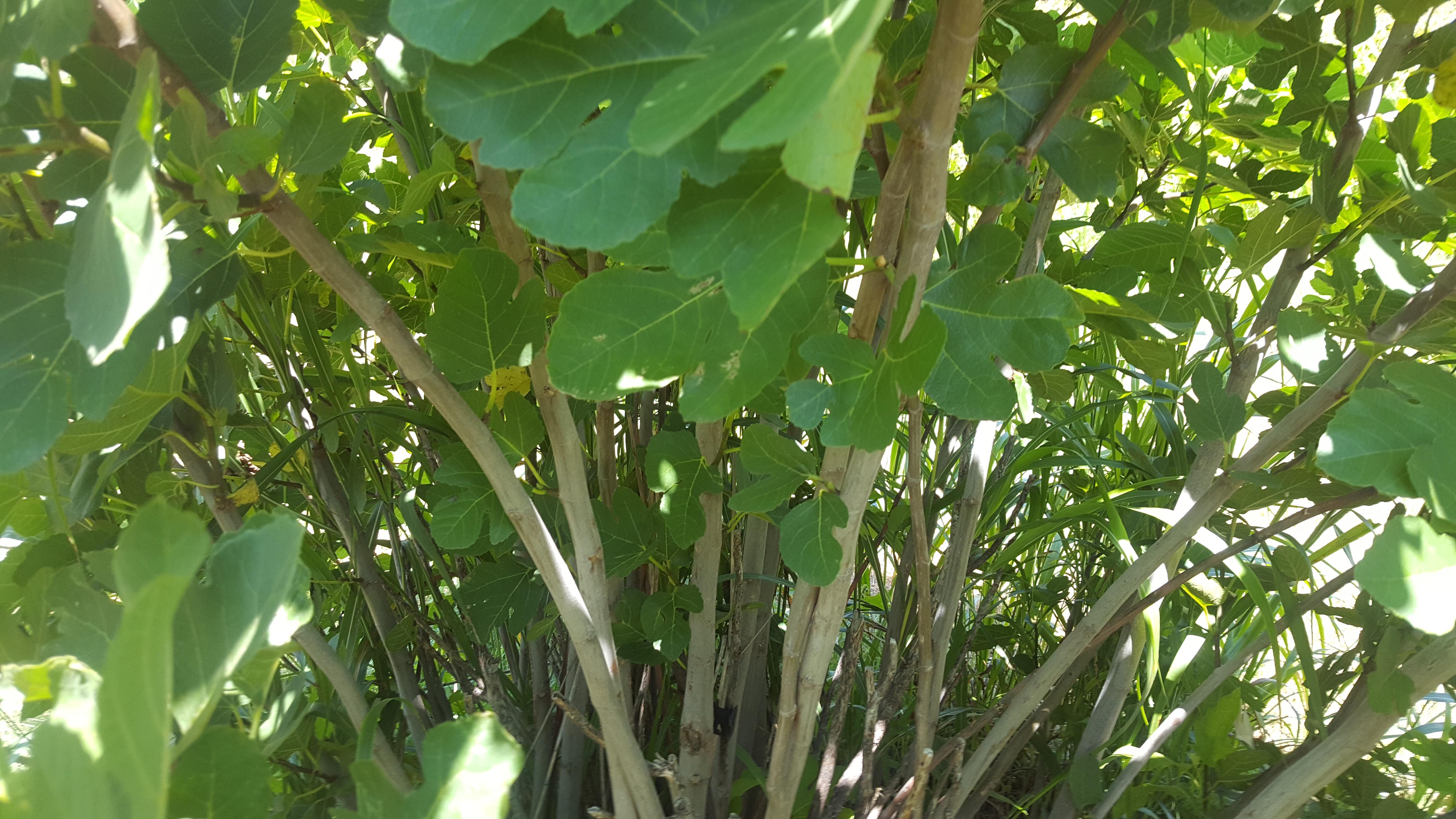 Italian Honey Fig