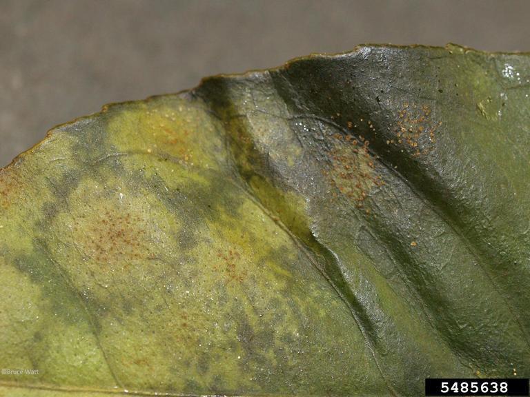 Lemon Diseases And Pests Description Uses Propagation