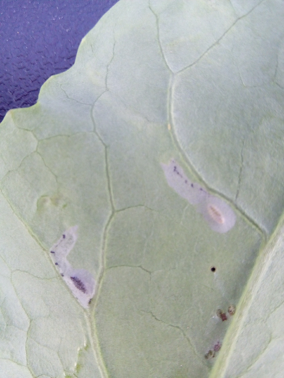 Found on one cauliflower leaf. Something eating the center of the leaf burying between the leaf skin