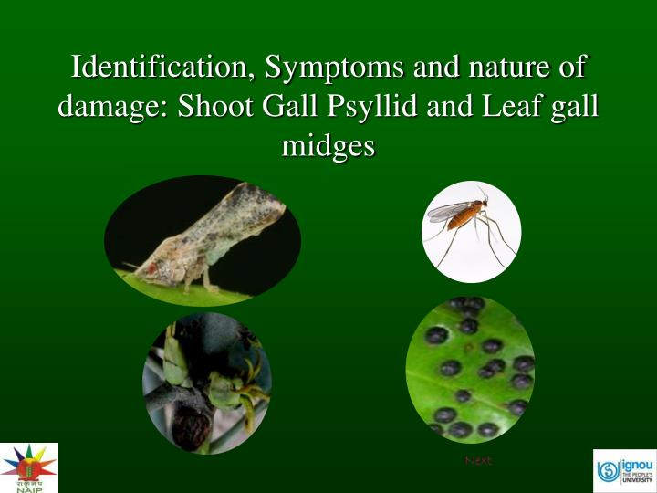 identification-symptoms-and-nature-of-damage-shoot-gall-psyllid-and-leaf-gall-midges-n.jpg