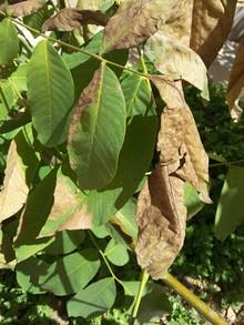 My walnut tree leaves dry on tree