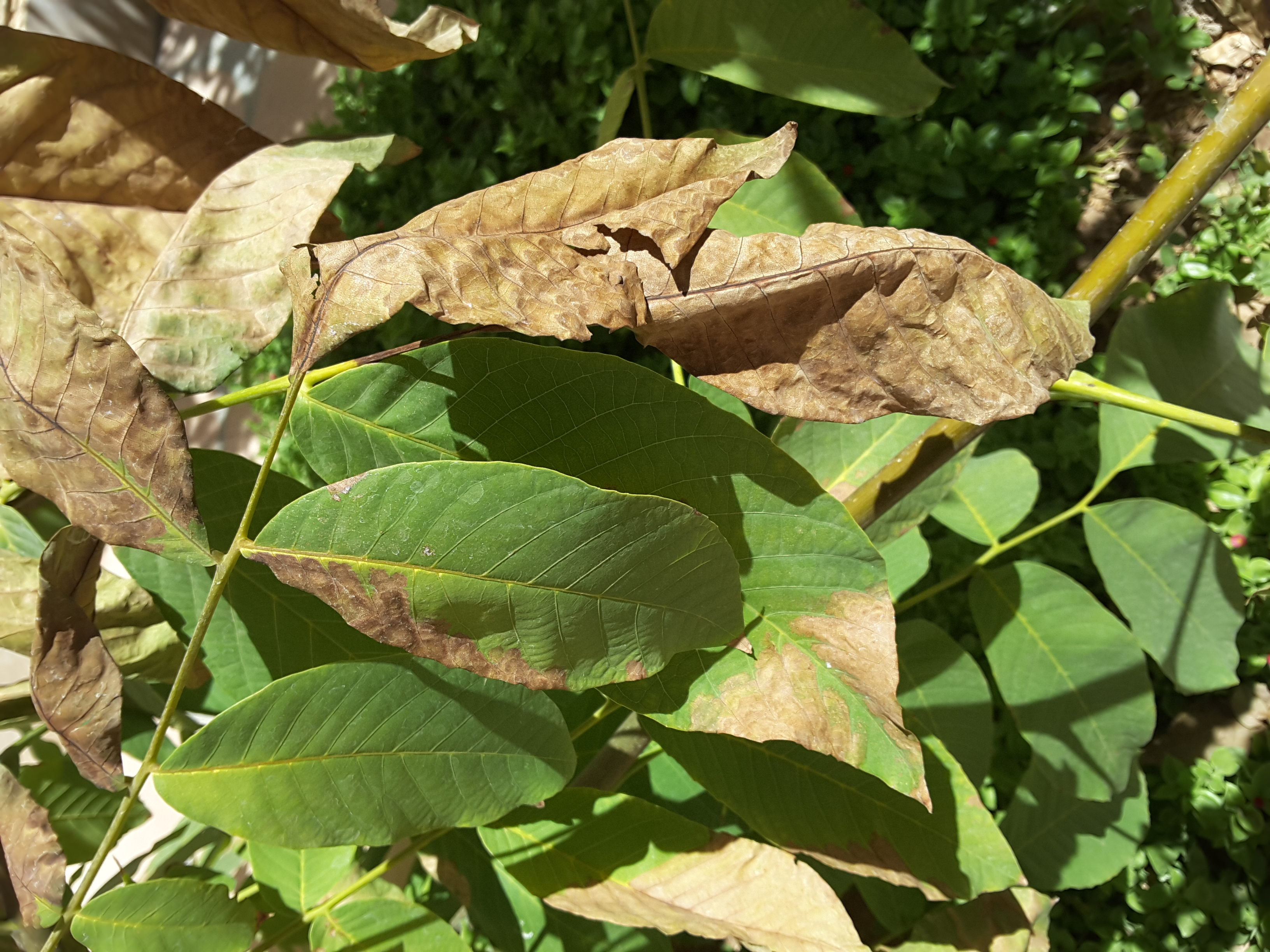 My walnut tree leaves dry on tree