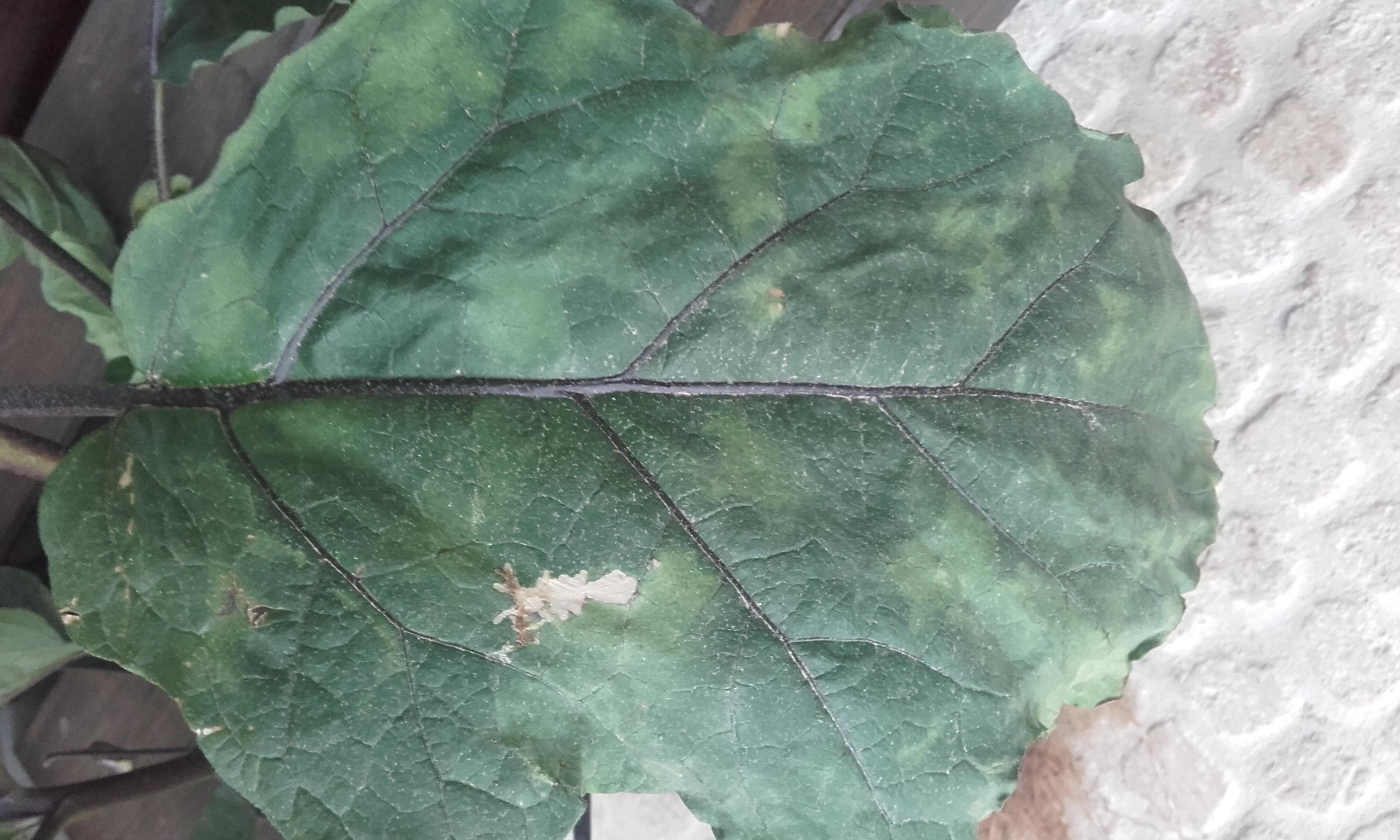 leaf of chinese eggplants