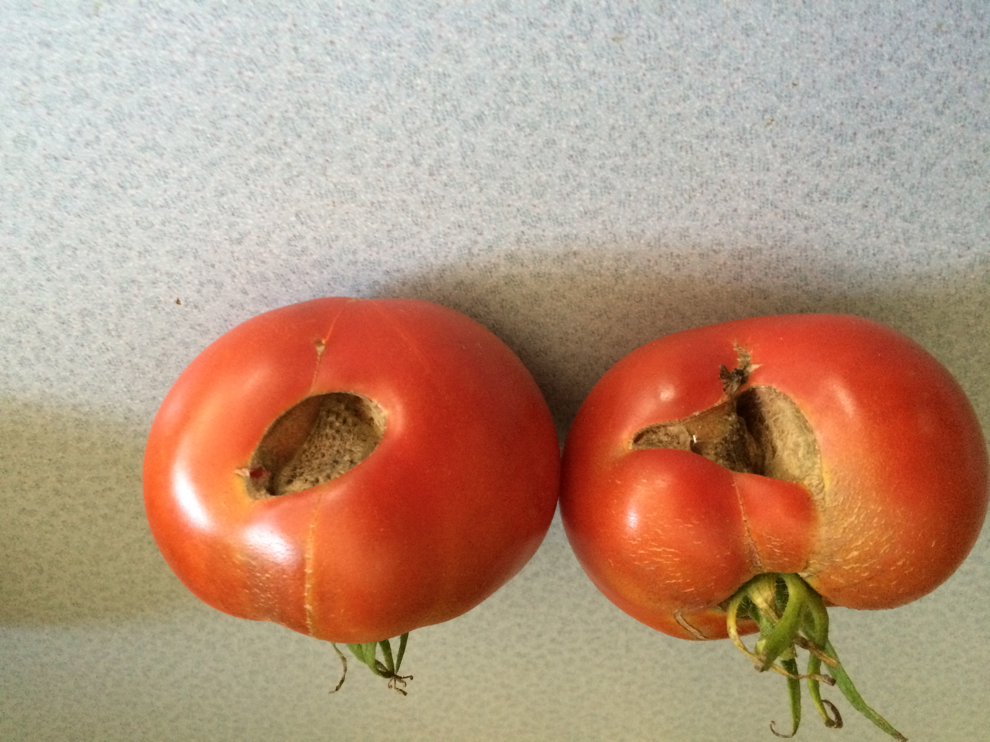 Brown spots on tomatoes