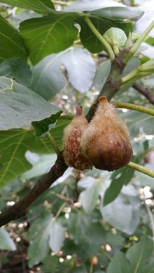 My figs develop a fuzz that spreads rapidly