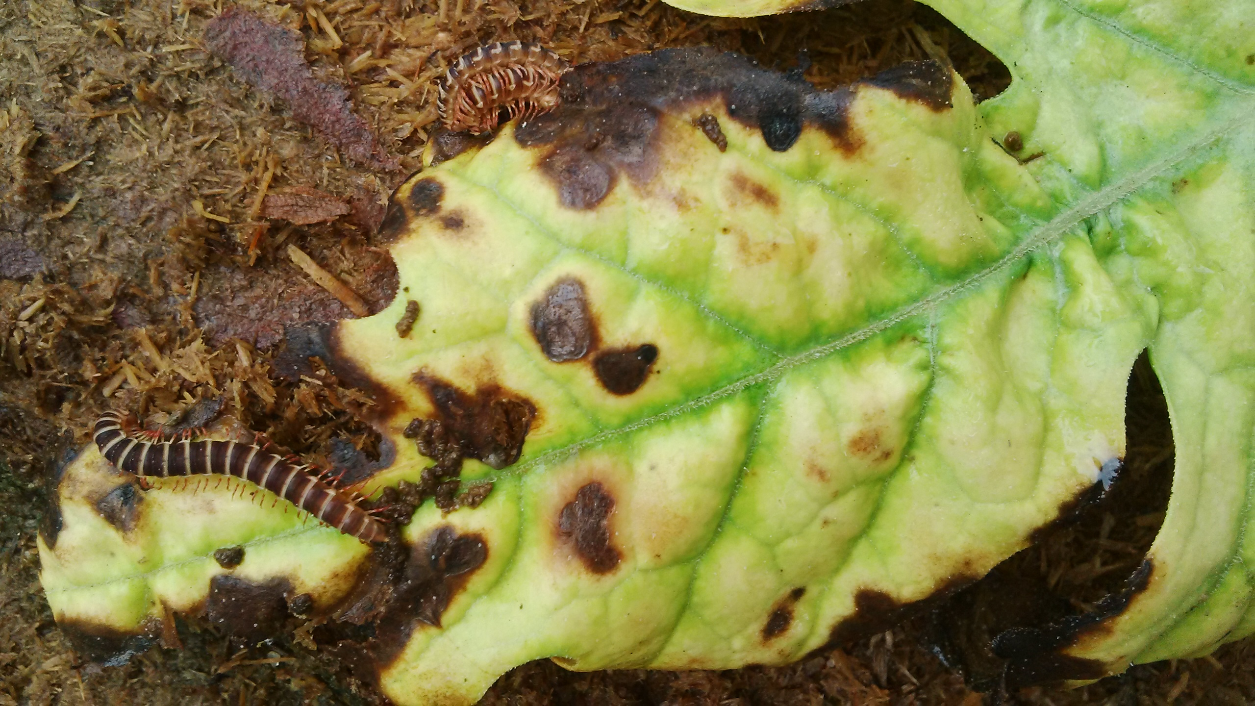 These red and black caterpillar looking living things are all over the leaves with the infection, are they infecting the leaves?