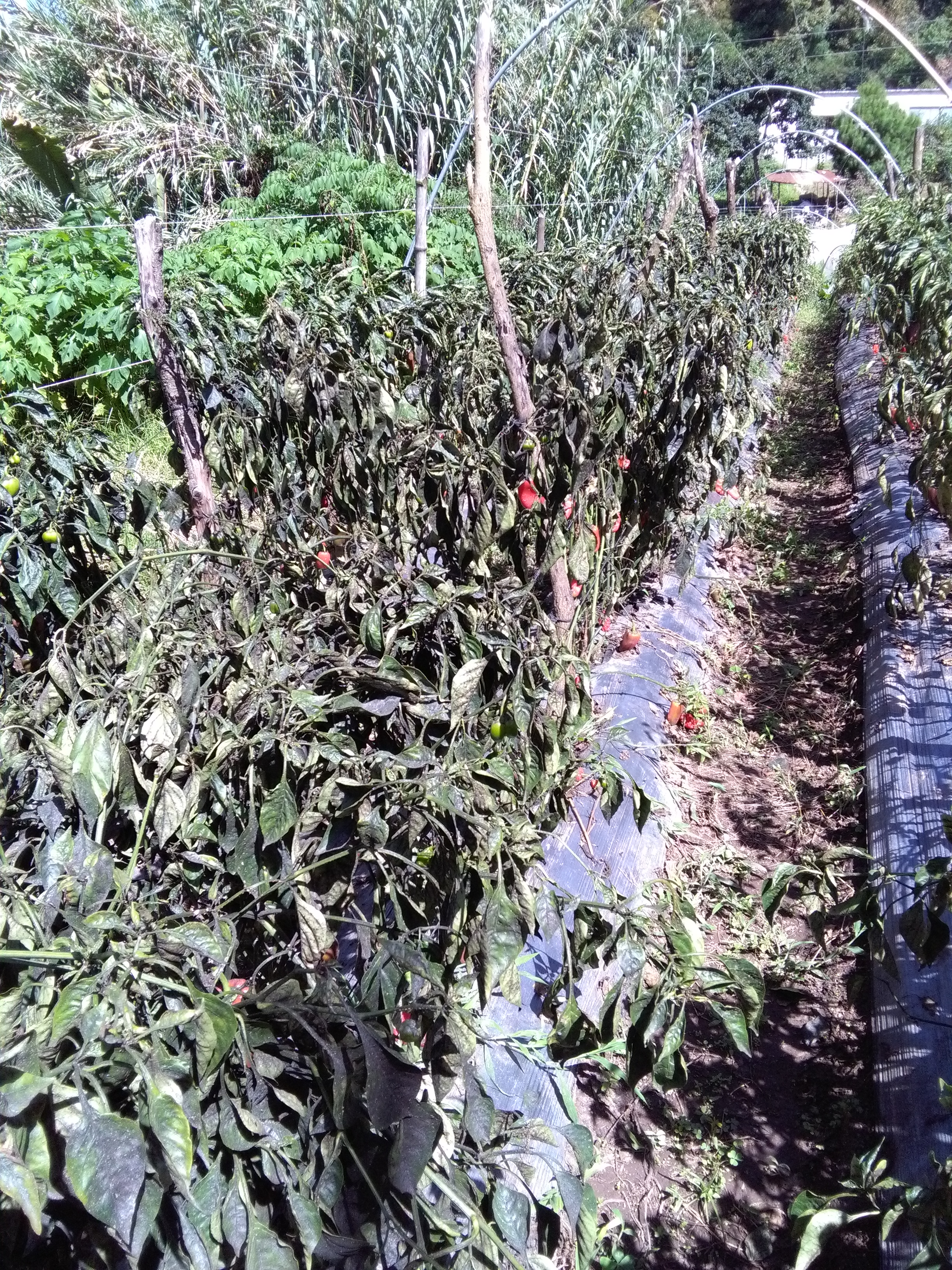 Black leaves of bell pepper infested by possible whitefly and aphids.