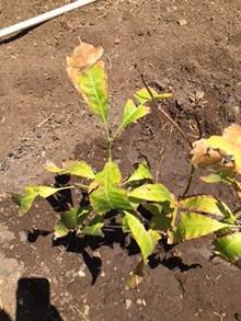 Leaves of my Cuban Mango