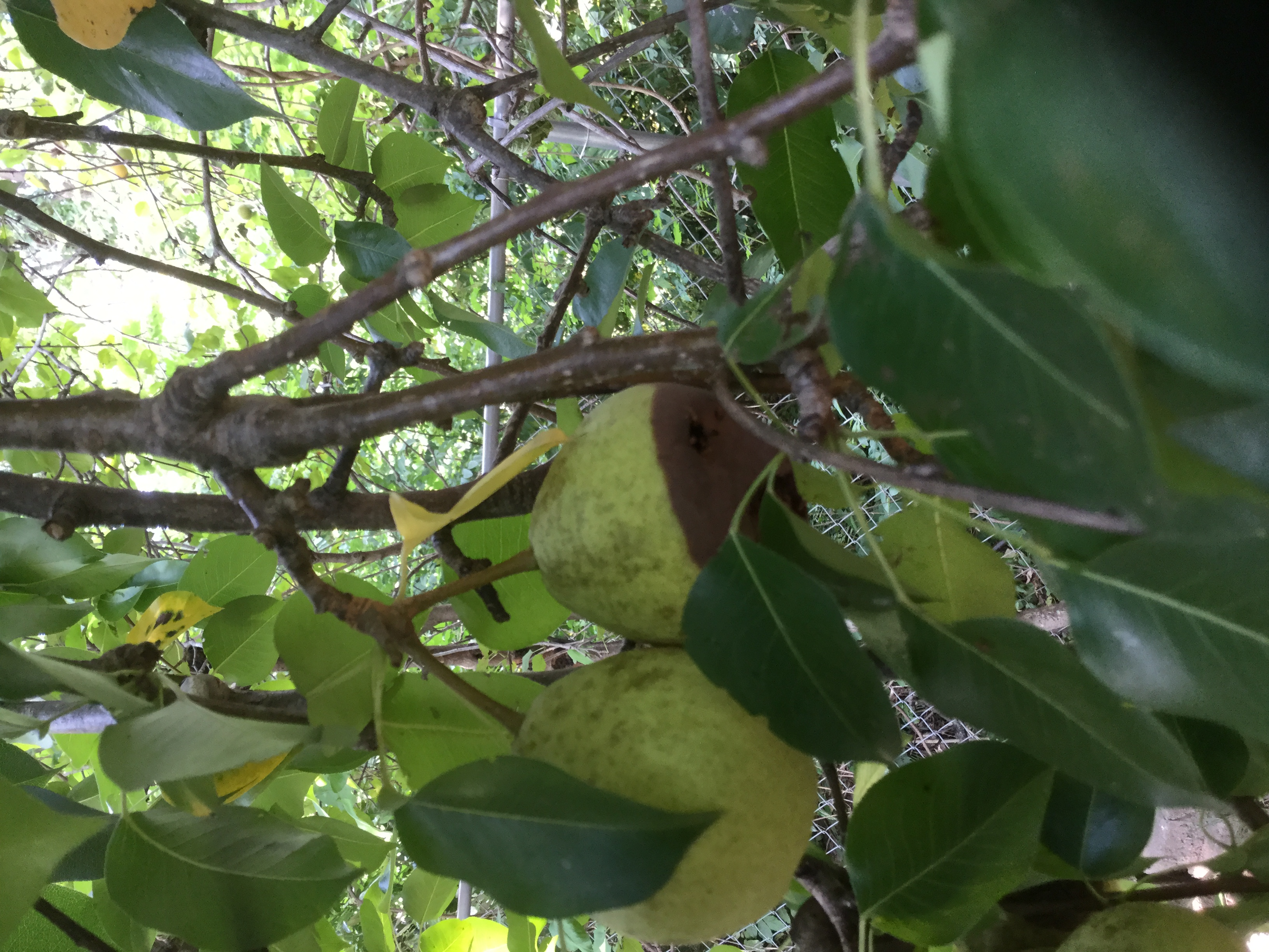 Pears on tree turning brown at the base