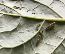 Caterpillars on kale