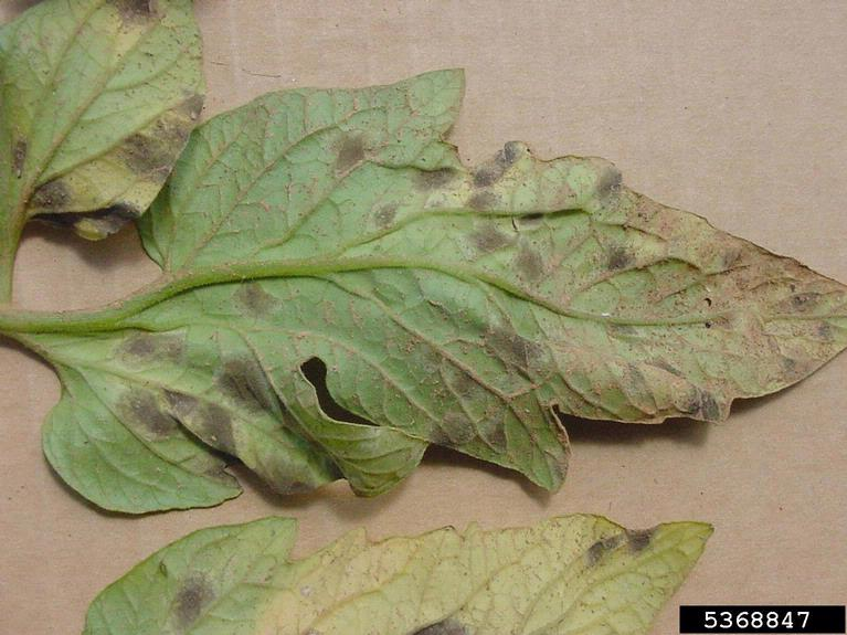 Tomato | Diseases and Pests, Description, Uses, Propagation