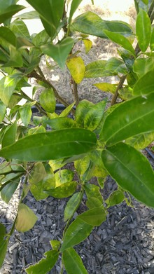 Tangerine leaves showing Yellow'ing of leaves