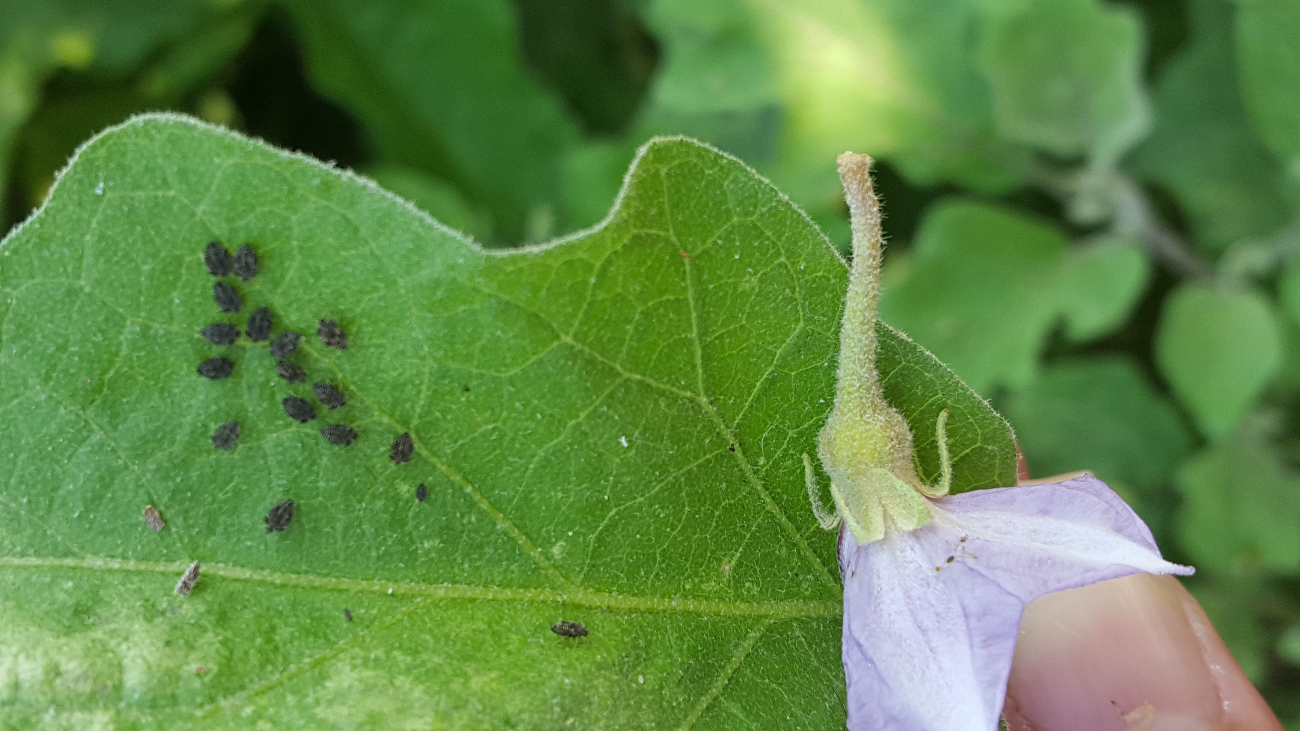 Insects of Egg Plant