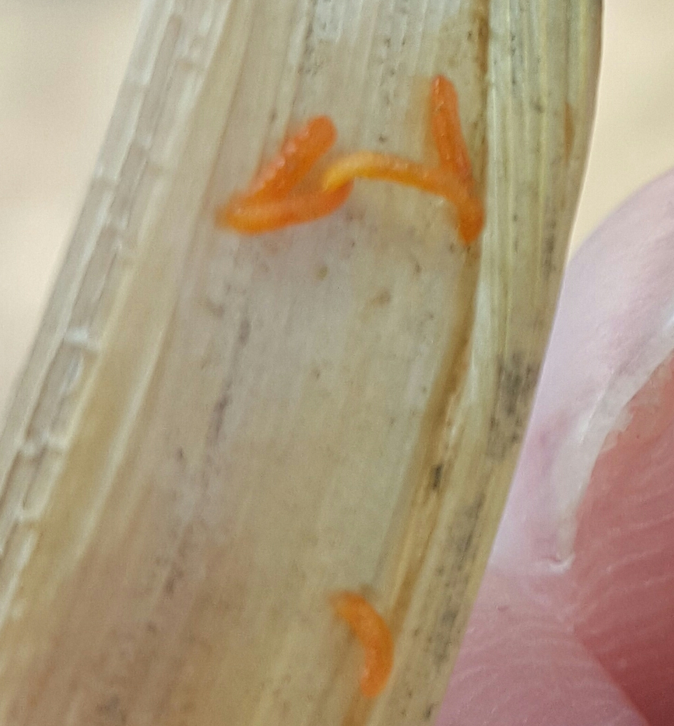 Insect of paddy found in Stem.
