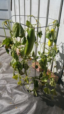 Damaged cucumber plant with weak leaves