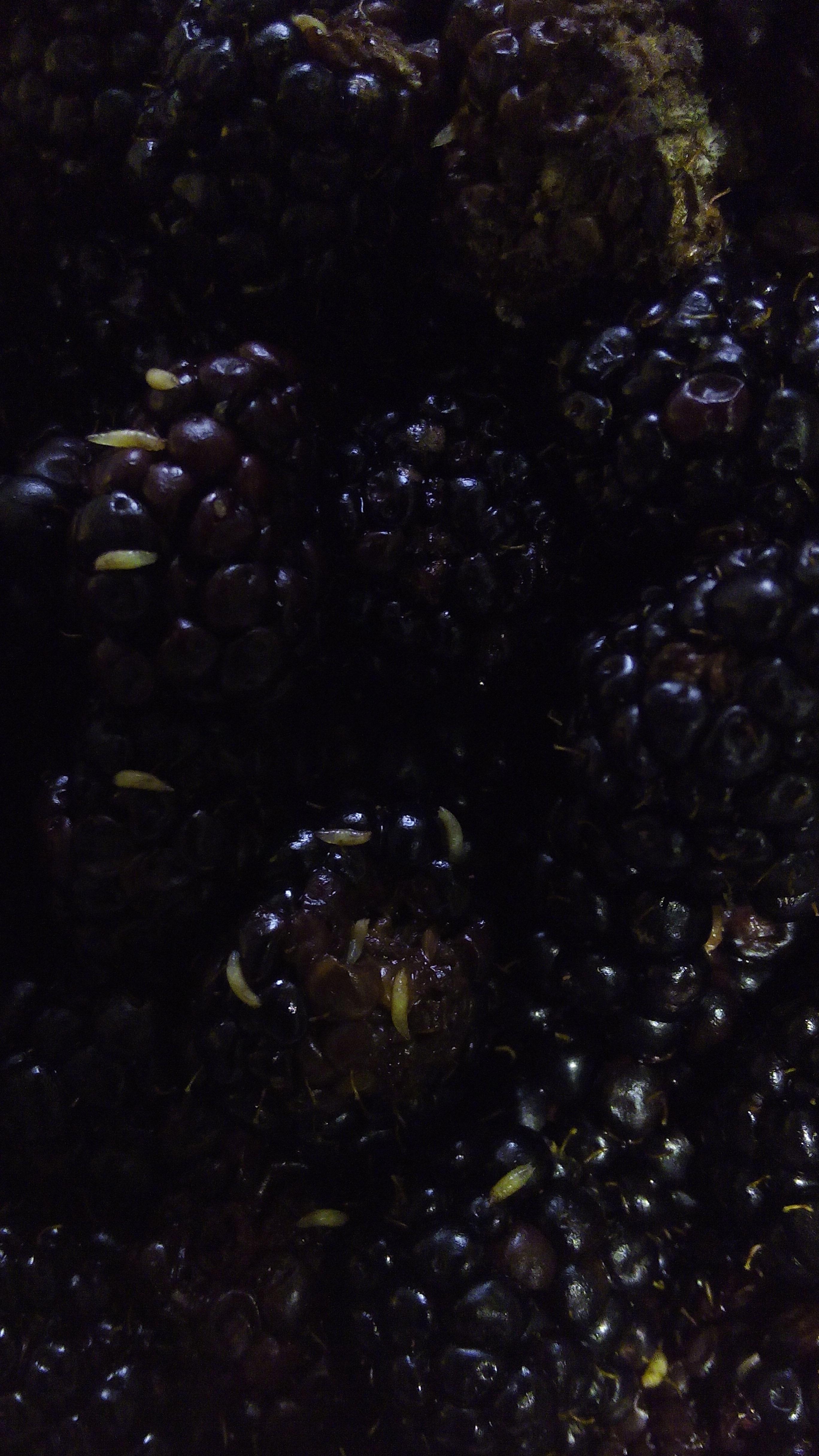 Blackberry_larvae.JPG