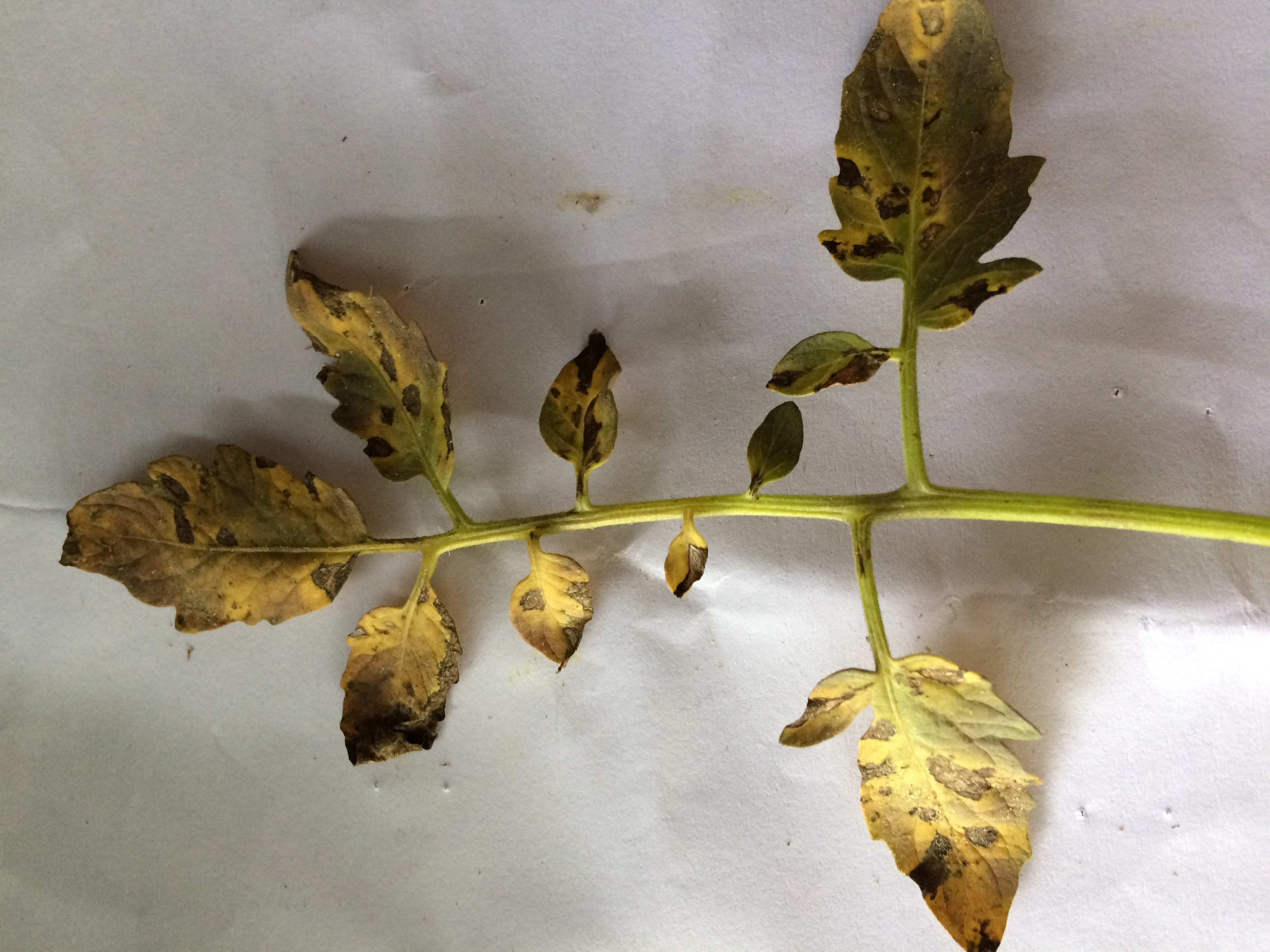 tomato leaf is occur this type decease