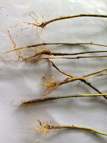 root destroyed in chillipepper