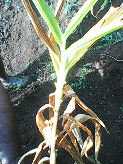 Final stage of disease .after a week the stem also get dry out but the ginger rhizome will not get affected any issue