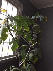 Italian fig tree, inside tree, about four feet tall