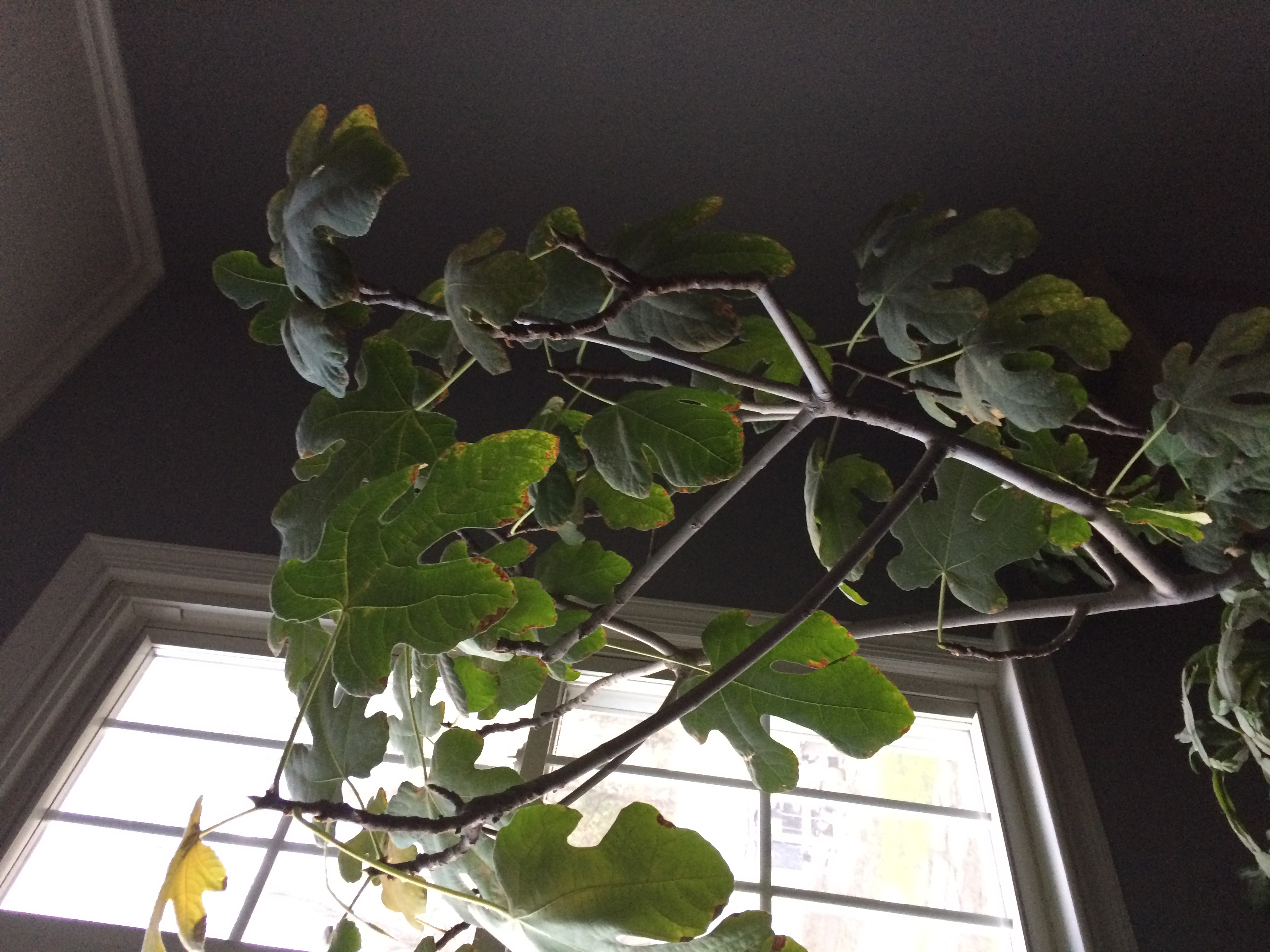 Italian fig tree, inside tree, about four feet tall