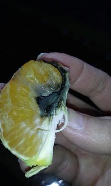Black mold/fungus inside tangerine