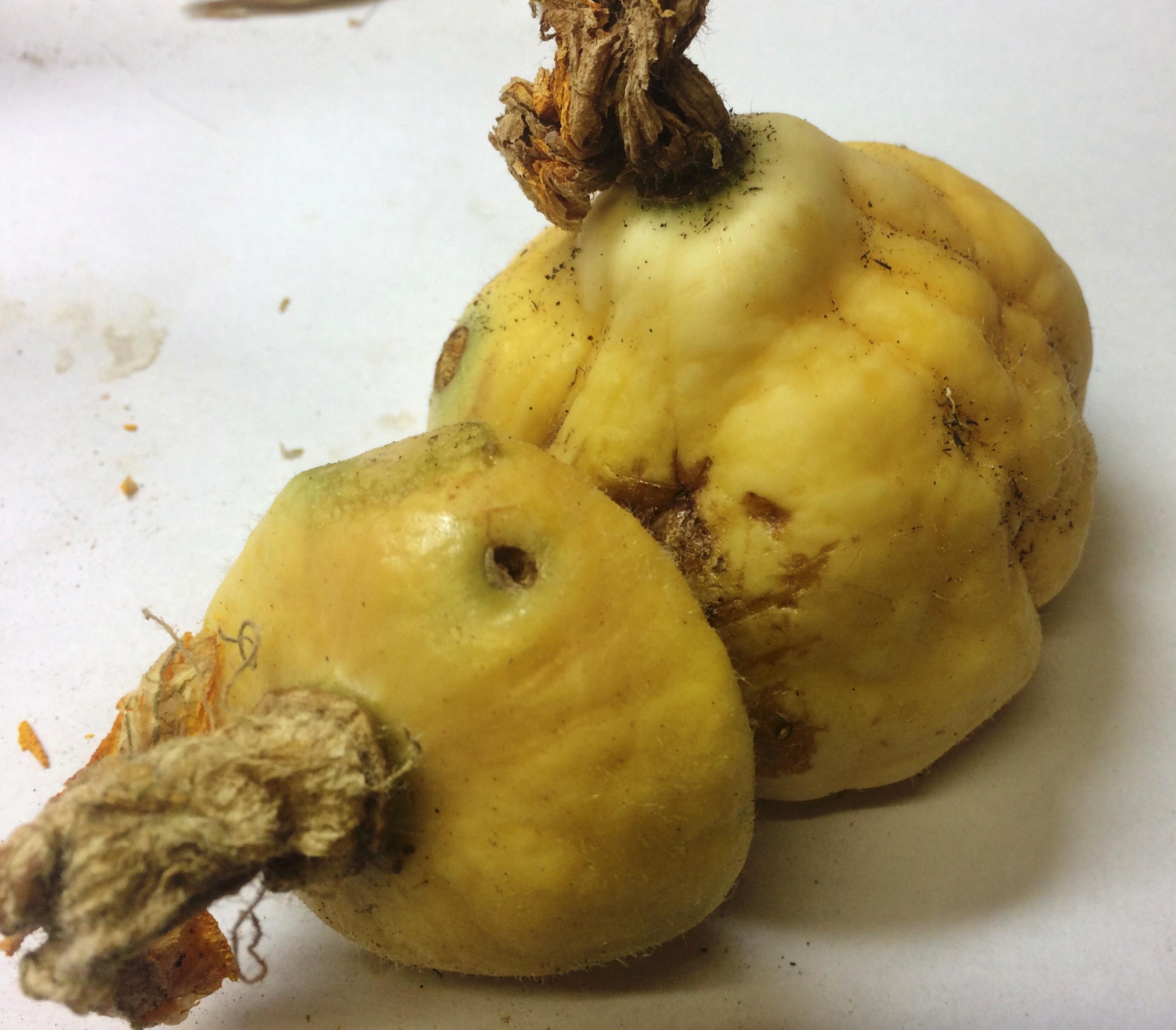 Pumpkin_Flat_White_Boer_4.jpg