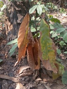 Drying of cocoa leaves