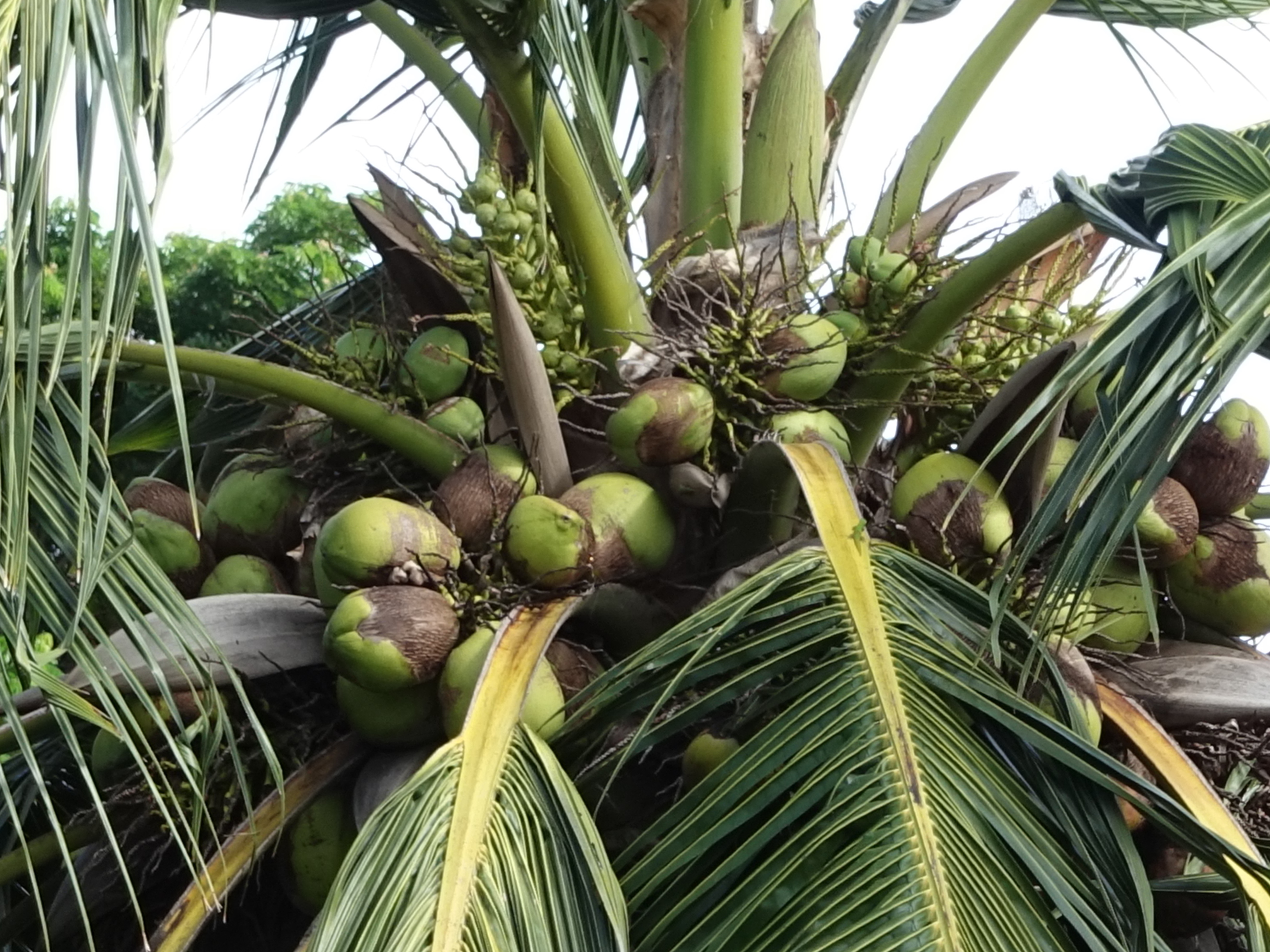 Coconut | Diseases and Pests, Description, Uses, Propagation