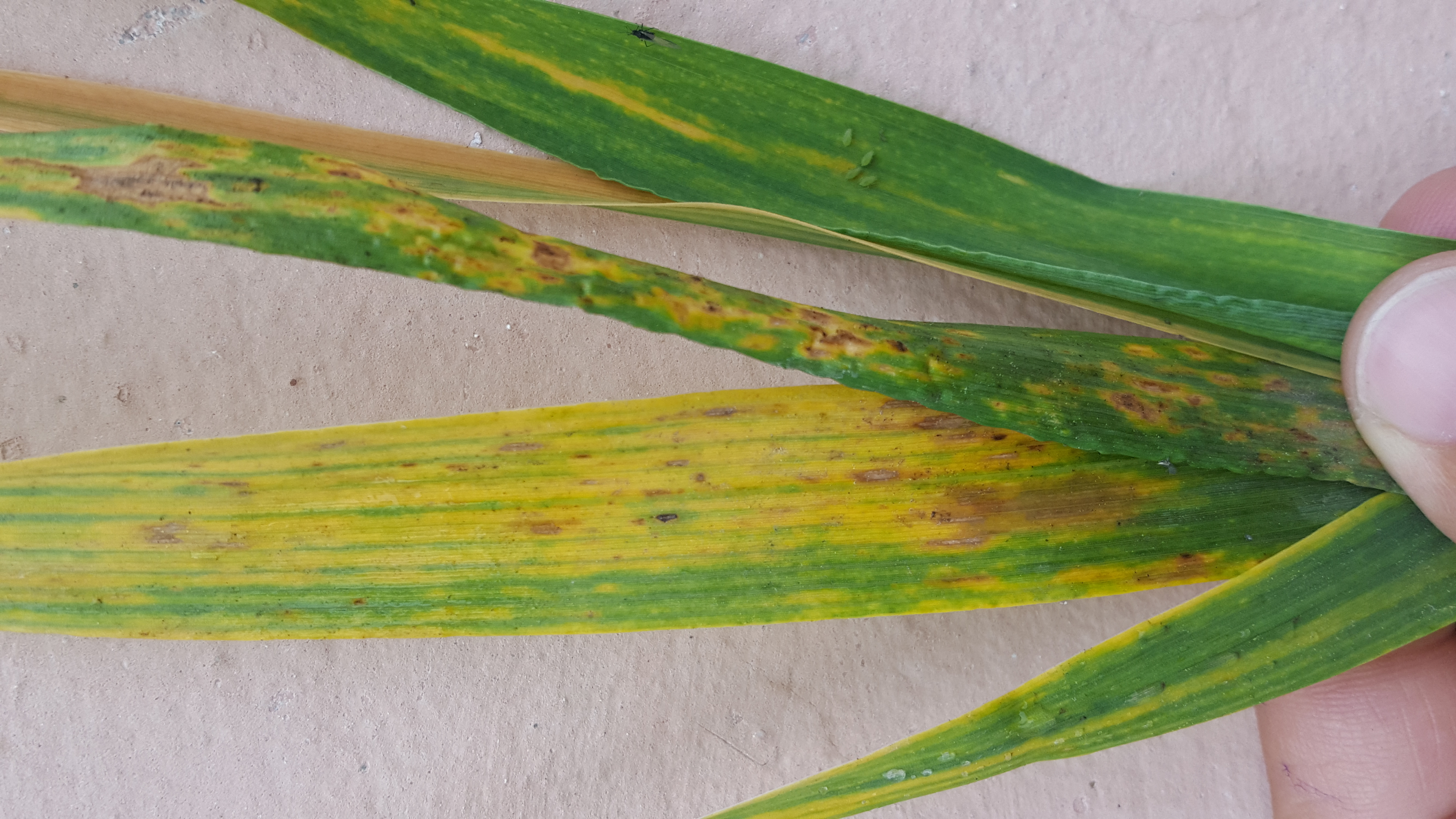 Can someone one help in identification of the disease. Is it spot blotch or leaf blight of wheat.
