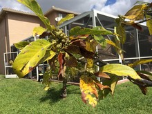 Spotted Leaves of Avocado Tree.