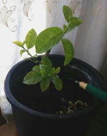 Grafted lemon onto lemon seedling