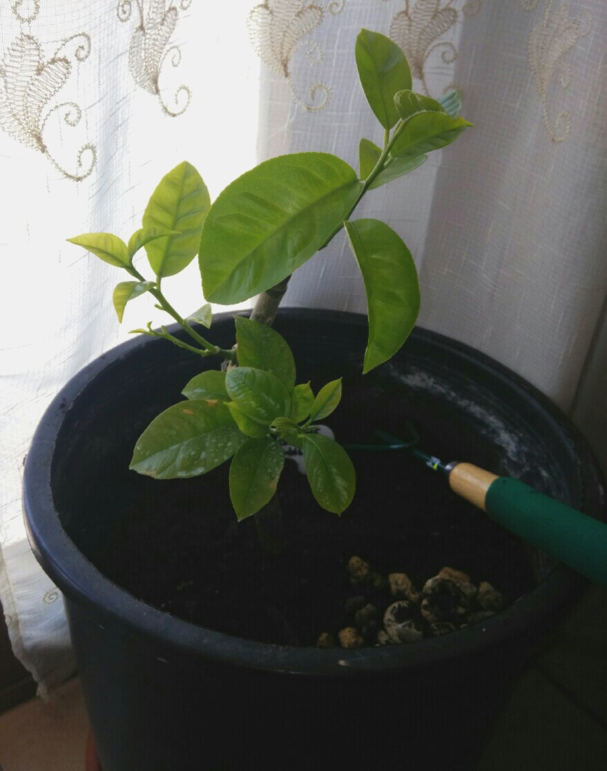 Grafted lemon onto lemon seedling
