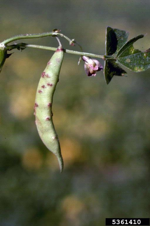 Bean | Diseases and Pests, Description, Uses, Propagation